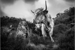 CATTLE IN THE HEATHER by Kev Bell