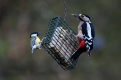 GREAT TIT AND GREAT SPOTTED WOODPECKER by Steve Holmes